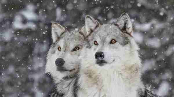 Two Wolves in the wild